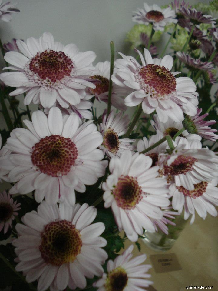 Chryzantéma (Chrysanthemum hybridum)