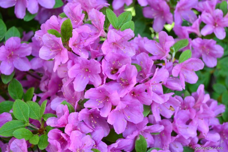 Pěnišník (Rhododendron azalka)