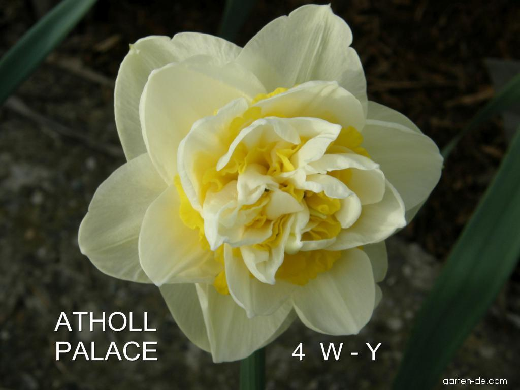 Narcissus Atholl Palace (Narzisse)