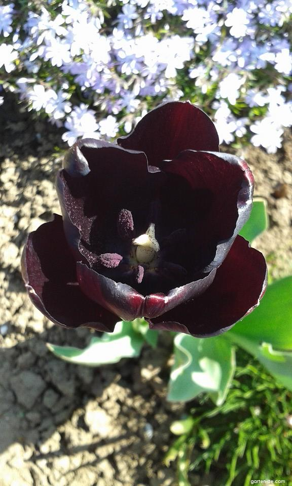 Tulpe - Tulipa Queen of Night