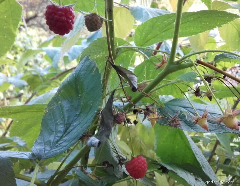 Ostružina malinová - v jesennom aspekte (Rubus idaeus L)
