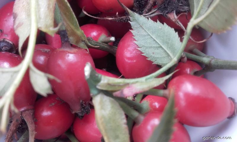 Ruža šípová - zber plodov na prípravu čaju (Rosa canina L)