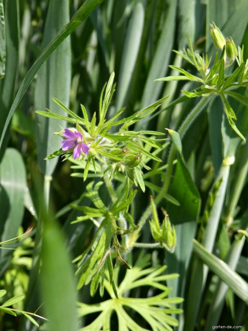 Kakost dlanitosečný (Geranium dissectum)