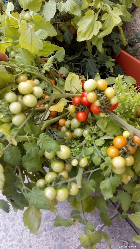 Rajče jedlé Bajaja (Solanum lycopersicum)
