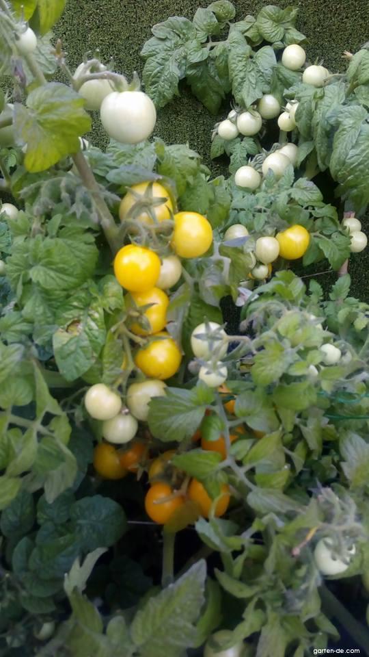Rajče jedlé Azték (Solanum lycopersicum)