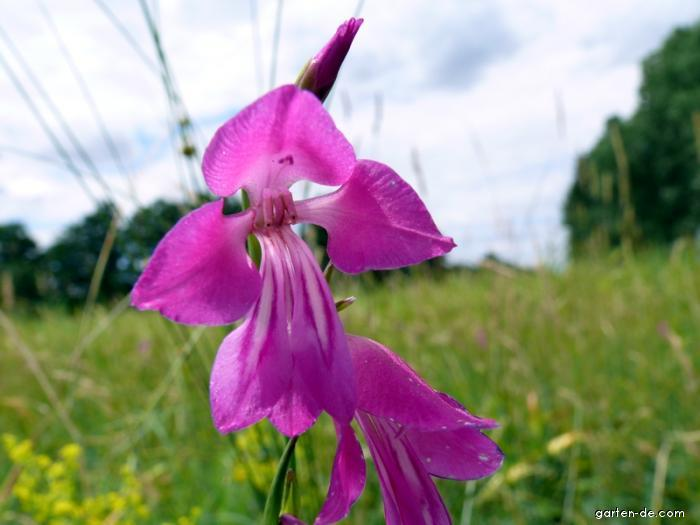 Mečík bahenní (Gladiolus palustris)