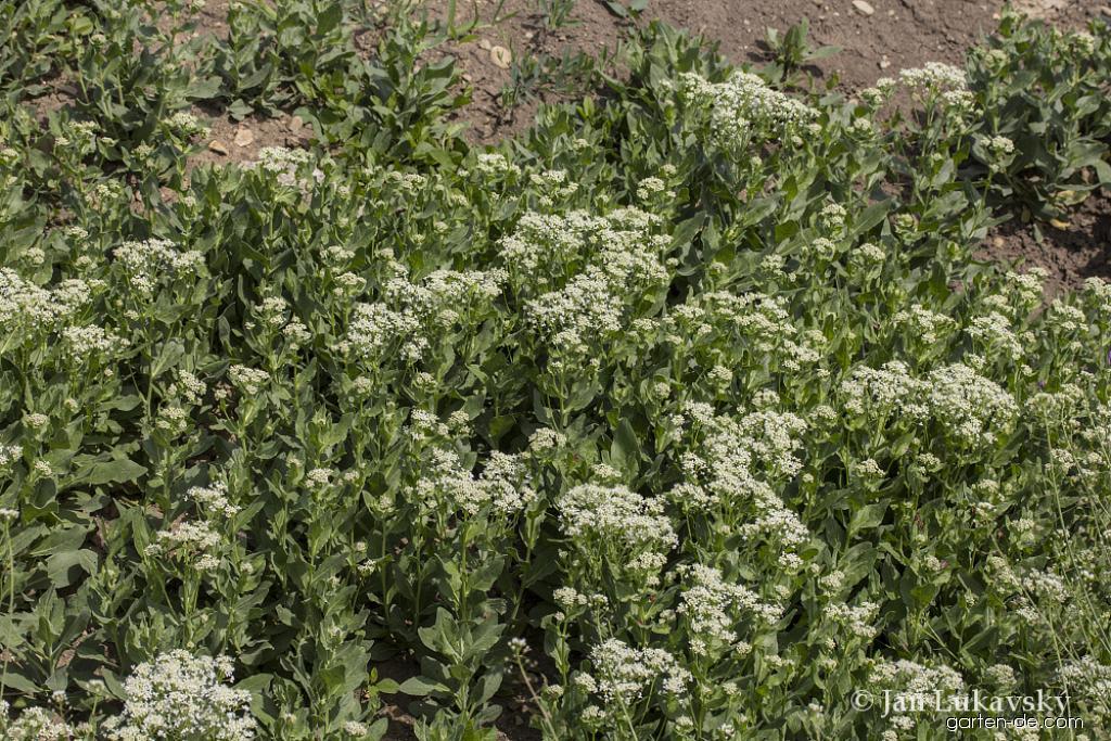 Vesnovka obecná (Lepidium draba)