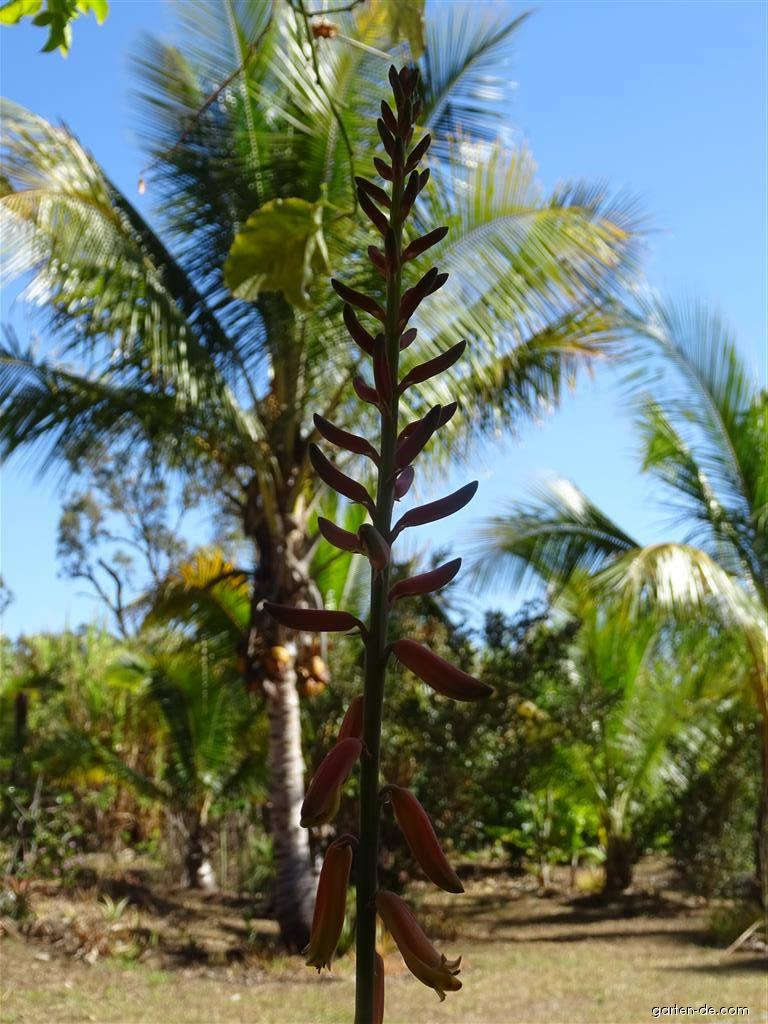 Aloe pravá (Aloe vera)
