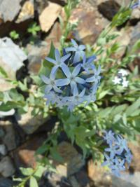 Amsonia jonesii
