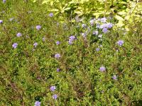 Aster dumosus  'Lady in Blue' - Kissenaster