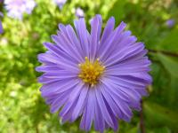 Aster dumosus  'Lady in Blue'  Kissenaster Blüten