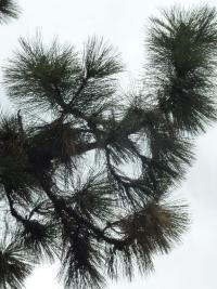 (Pinus jeffreyi) Borovice Jeffreyova