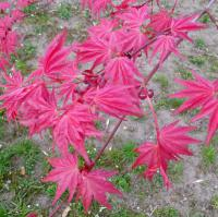 Senkaki- Corallinum Acer Palmatum Sango kaku
