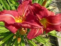 Denivka 'Holiday Happiness' (Hemerocallis)