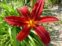 Denivka 'Lonnie' (Hemerocallis)