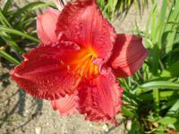 Denivka 'Little Fat Dazzler' (Hemerocallis)