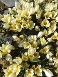 Crocus chrysanthus  'Cream Beauty' - Garten-Krokus