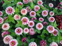 Zinnia elegans 'Swizzle Cherry and Ivory'  Zinnie Pflanze
