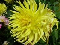 Dahlia  'Windhaven Highlight' - Garten-Dahlie