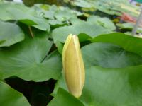 Leknín 'St Louis Gold' (Nymphaea)