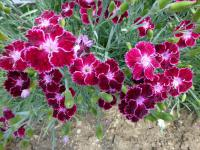 Hvozdík 'Unique' (Dianthus)