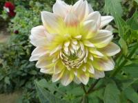 Dahlia   'Peaches and Cream'  Garten-Dahlie Blüten