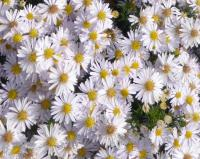 Aster dumosus 'Apollo'  Kissenaster Pflanze