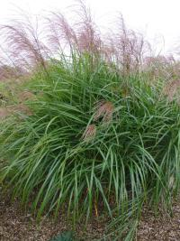 Miscanthus sinensis 'Red Tango'  Chinaschilf Pflanze