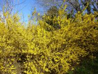 Forsythia x intermedia  'Golden Times'  Forsythie Pflanze