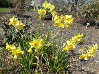 Narcis (Narcissus Martinette)