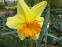 Narcissus   'Fortissimo'  Narzisse Knospe