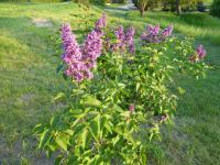 Syringa vulgaris  'Arthur William Paul' - Gewöhnlicher Flieder