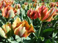 Tulipa   'Hollywood'  Tulpe Blüten
