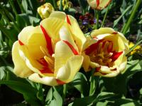 Tulipa  'World Expression'  Tulpe Pflanze