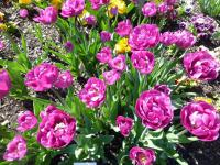 Tulipa 'Backpacker'  Tulpe Pflanze