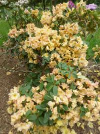 Rhododendron  'Mirabella' - Alpenrose