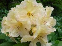 Rhododendron  'Champagne'  Alpenrose Blüten