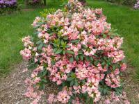 Rhododendron  'Dolcemente' - Alpenrose