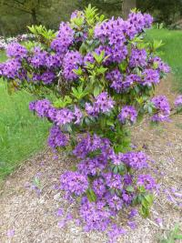 Rhododendron  'Blue Boy' - Alpenrose