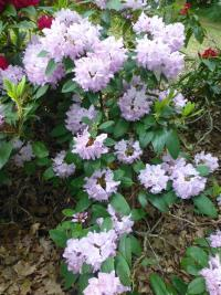 Rhododendron  'Arno' - Alpenrose