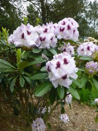 Rhododendron 'Marsala'  Alpenrose Pflanze