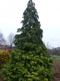 Chamaecyparis lawsoniana 'Golden Wonder'  Lawsons Scheinzypresse Pflanze