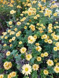 Chrysanthemum hybridum 'Goldgreenheart'  Chrysantheme Pflanze