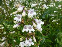 (Penstemon digitalis) Dračík
