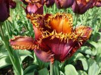 Tulipa   'Black Jewel' - Tulpe