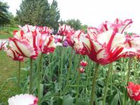 Tulipa  'Flaming Parrot'  Tulpe Pflanze