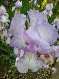 Kosatec 'True Delight' - květ (Iris)