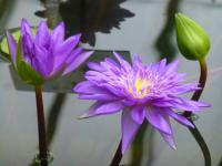 Leknin 'King of Siam' (Nymphaea)