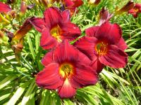 Denivka 'Scarlet Royalty' (Hemerocallis hybrida)