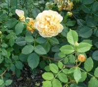 Rosa  'Golden Celebration' - Rose